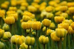 Flores de la primavera de los tulipanes Imagen de archivo libre de regalías