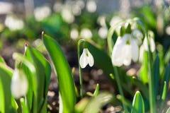 Flores de la primavera de Snowdrop fotografía de archivo