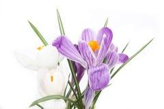 Flores de la primavera del azafrán Fotos de archivo