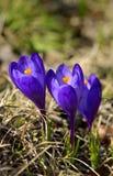 Flores de la primavera del azafrán Fotos de archivo libres de regalías