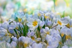 Flores de la primavera del azafrán Foto de archivo libre de regalías