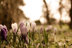 Flores de la primavera del azafrán en hierba verde con rocío Imágenes de archivo libres de regalías
