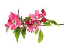 Flores de la primavera del cerezo aislados en blanco Foto de archivo