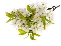 Flores de la primavera del cerezo aislados en blanco Imágenes de archivo libres de regalías