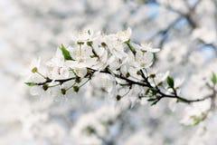 Flores de la primavera del ciruelo fotos de archivo