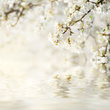 Flores de la primavera del ciruelo Foto de archivo libre de regalías
