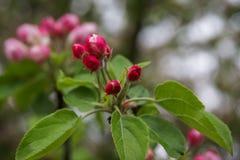 Flores de la primavera del manzano Foto de archivo libre de regalías