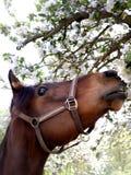 Flores de la primavera del olor del caballo imágenes de archivo libres de regalías