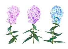 Flores de la primavera del polemonio ilustración del vector