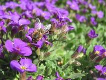Flores de la primavera del pollinatig de la abeja en el jardín Foto de archivo libre de regalías