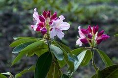 Flores de la primavera del rododendro Foto de archivo libre de regalías