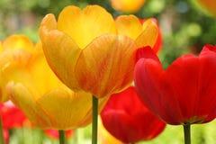 Flores de la primavera del tulipán en fondo borroso Fotografía de archivo