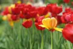 Flores de la primavera del tulipán en fondo borroso Foto de archivo