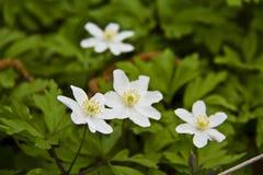 Flores de la primavera: detalle de las anémonas de snowdrop en parque Fotografía de archivo libre de regalías