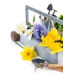 Flores de la primavera en cesta de madera con los utensilios de jardinería Fotografía de archivo libre de regalías