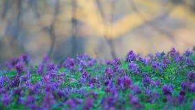 Flores de la primavera en el bosque de igualación