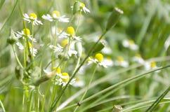 Flores de la primavera en el campo Poco manzanillas y semilla-cabezas de amapolas imagen de archivo libre de regalías