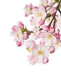 Flores de la primavera en el fondo blanco Imágenes de archivo libres de regalías