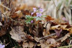 flores de la primavera en el fondo de las hojas del roble del año pasado en el bosque imagenes de archivo