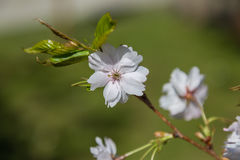Flores de la primavera en la rama Imagen de archivo libre de regalías