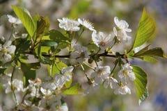 Flores de la primavera en Moscú, año 2014 Imágenes de archivo libres de regalías