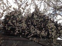 Flores de la primavera en Tokio Fotos de archivo libres de regalías