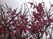 Flores de la primavera en Tokio Imágenes de archivo libres de regalías