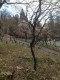 Flores de la primavera en Tokio Imagen de archivo libre de regalías