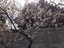 Flores de la primavera en Tokio Foto de archivo libre de regalías