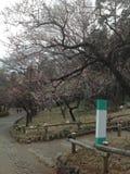 Flores de la primavera en Tokio Fotos de archivo