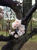 Flores de la primavera en Tokio Imagen de archivo