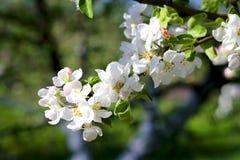 Flores de la primavera en una rama de la manzana Fotografía de archivo libre de regalías
