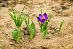 Flores de la primavera de la lila en el jardín Foto de archivo libre de regalías
