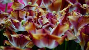 Flores de la primavera: los tulipanes coloridos se cierran para arriba Imágenes de archivo libres de regalías
