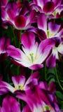 Flores de la primavera: los tulipanes magentas/púrpuras se cierran para arriba Imágenes de archivo libres de regalías