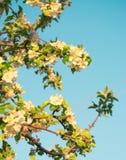 Flores de la primavera de la manzana Foto de archivo