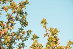 Flores de la primavera de la manzana Fotografía de archivo libre de regalías