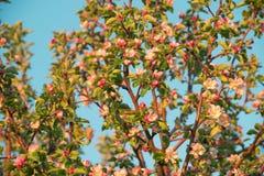 Flores de la primavera de la manzana Fotos de archivo libres de regalías