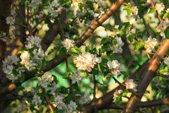 Flores de la primavera de la manzana Imagenes de archivo