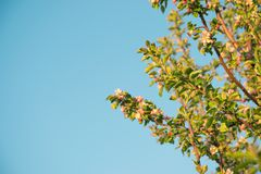 Flores de la primavera de la manzana Imagen de archivo libre de regalías