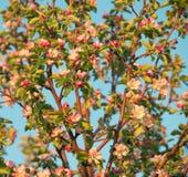 Flores de la primavera de la manzana Foto de archivo libre de regalías