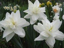 Flores de la primavera: medalla del blanco del narciso Fotografía de archivo