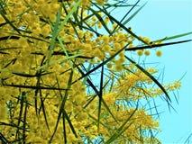 Flores de la primavera de la mimosa fotografía de archivo libre de regalías