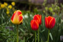 Flores de la primavera - tulipanes Imagen de archivo