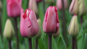 Flores de la primavera: un cierre para arriba de tulipanes rosados con los brotes en el fondo Foto de archivo libre de regalías