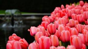 Flores de la primavera: un cierre para arriba de tulipanes rosados/de color salmón brillantes en la estación de primavera fotografía de archivo