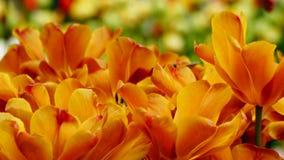 Flores de la primavera: un cierre para arriba de un de oro/de un cobre brillante/de tulipanes anaranjados en un fondo verde Fotos de archivo