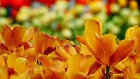 Flores de la primavera: un cierre para arriba de un de oro/de un cobre brillante/de tulipanes anaranjados en un fondo verde Fotografía de archivo libre de regalías