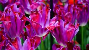 Flores de la primavera: un cierre para arriba de un tulipán púrpura brillante con otros tulipanes en el fondo verde Imagenes de archivo