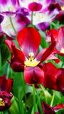 Flores de la primavera: un cierre para arriba de un tulipán rojo brillante en la estación de primavera Imágenes de archivo libres de regalías